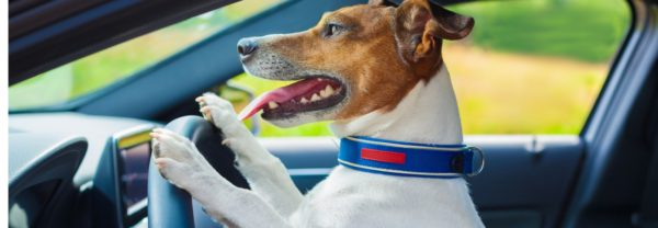 A car in the driver's seat of a car in a blog post about driving with pets safely.